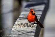 Cardinal_9