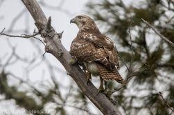 Hawk_1
