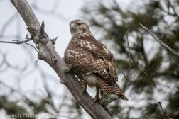 Hawk_4