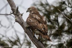 Hawk_5