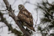 Hawk_9