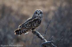 Owl_100