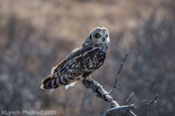 Owl_103