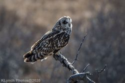 Owl_106