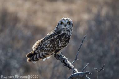 Owl_108