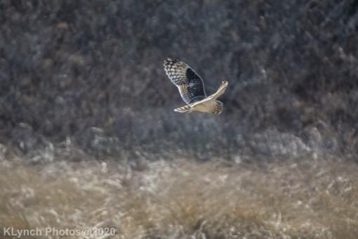 Owl_11