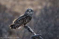 Owl_113