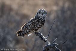Owl_114