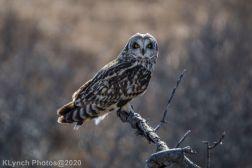 Owl_115