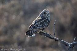 Owl_117