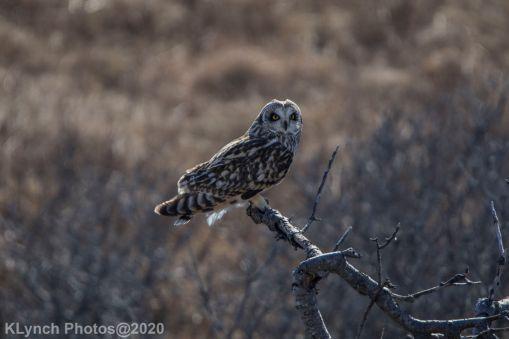 Owl_118