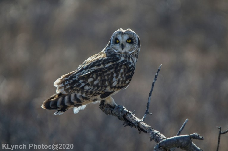 Owl_121