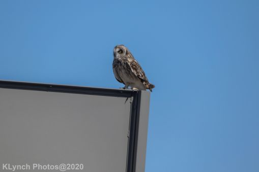 Owl_19