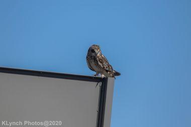 Owl_20