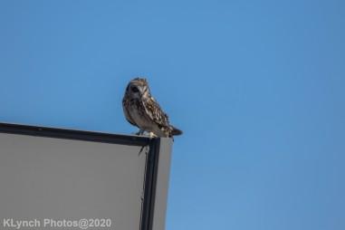 Owl_21