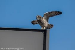 Owl_24