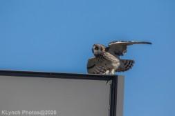Owl_25