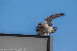 Owl_26