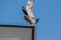Owl_27