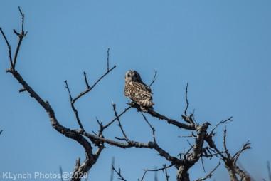 Owl_32