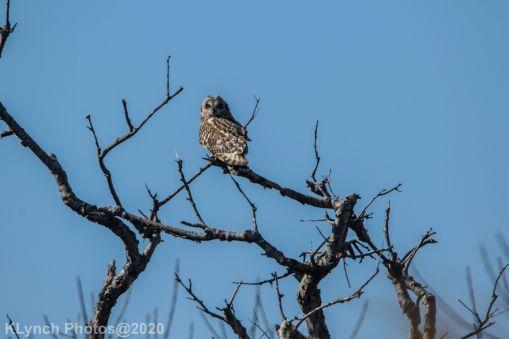 Owl_33