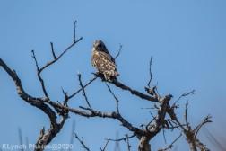 Owl_35