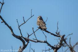 Owl_37