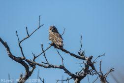 Owl_38