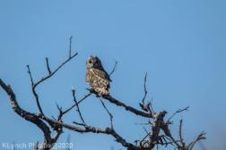 Owl_39