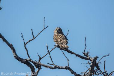 Owl_43