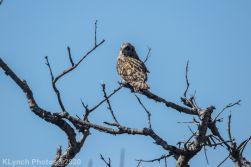 Owl_45