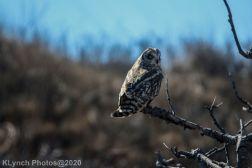 Owl_48
