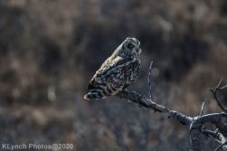 Owl_50