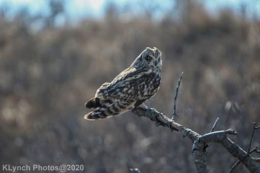 Owl_52