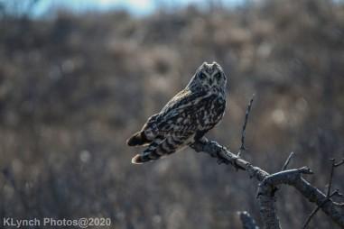 Owl_54
