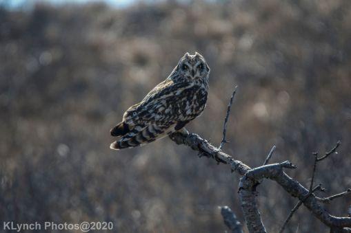 Owl_55