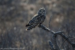 Owl_56