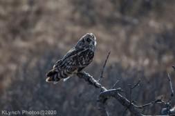 Owl_58