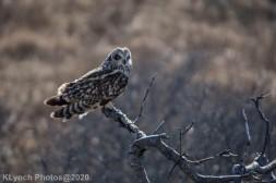 Owl_59