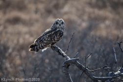 Owl_61