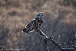 Owl_62