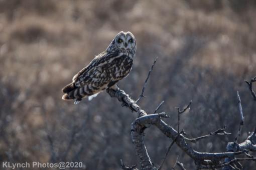 Owl_63