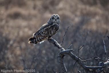 Owl_64