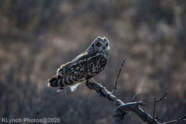 Owl_65