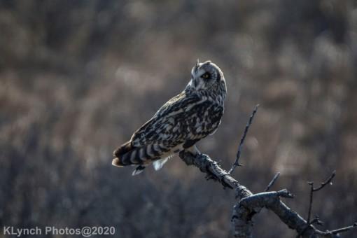 Owl_66