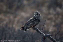 Owl_67