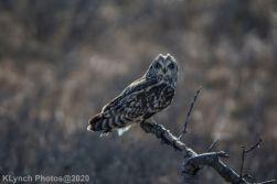 Owl_68