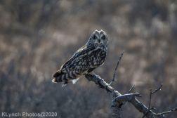 Owl_71