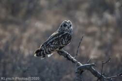 Owl_72