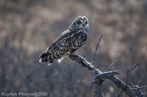 Owl_74